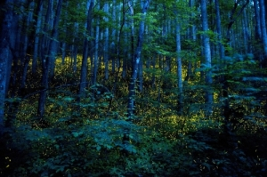 Synchronous Fireflies in Great Smokey Mountains firefly.org