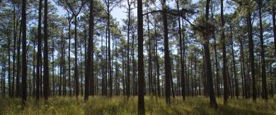 Georgia Longleaf Forest pfsfc.org