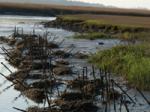 kerang tiram dan semen tertutup bambu ditanam untuk menarik larva tiram. http://www.nature.org/