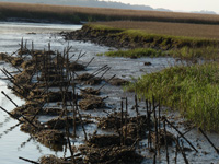 Oyster shells and cement covered bamboo are planted to attract oyster larvae. http://www.nature.org/